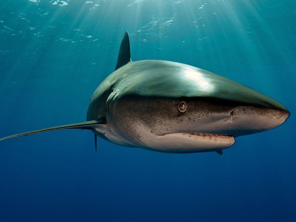 Kampf in der Tiefe: Hai wehrt Riesenkalmar ab
