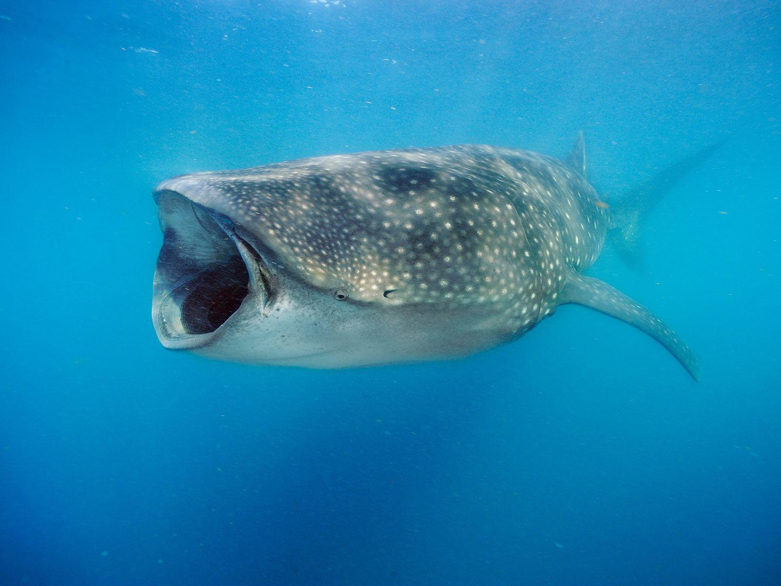 Walhaie wie dieses Tier, das vor Halbinsel Yucatán Plankton frisst, können den Wasserdurchfluss manipulieren, um ihre ...