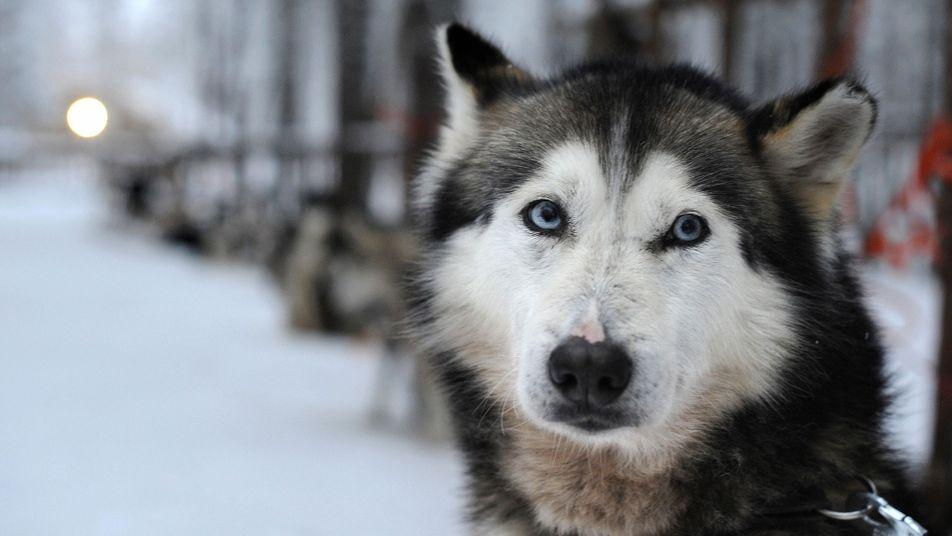 Warum haben Hunde blaue Augen?