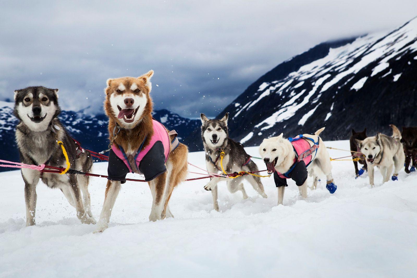 Schlittenhund und Mensch: 10.000 Jahre Teamwork
