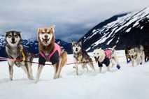 Ein Team von Schlittenhunden bei einem Rennen auf dem Herbert-Gletscher in der Nähe von Juneau, Alaska. ...