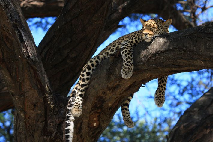 Leopardenweibchen