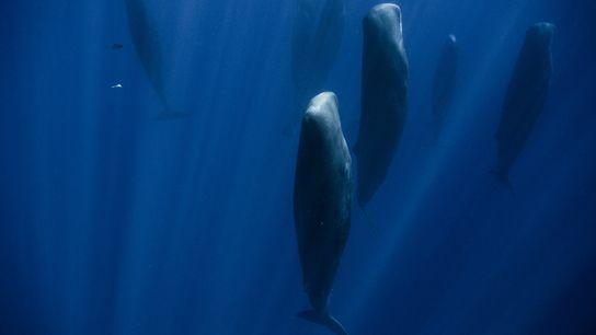 Gruppe senkrecht schlafender Wale