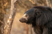 Dieser gerettete Lippenbär lebt im Bannerghatta Bear Rescue Center in Indien. Die Tiere können harmlos und ...