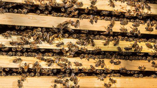 "Bienenzüchter versüßen Solarparks mit dem ""Tesla unter den Honigen"""