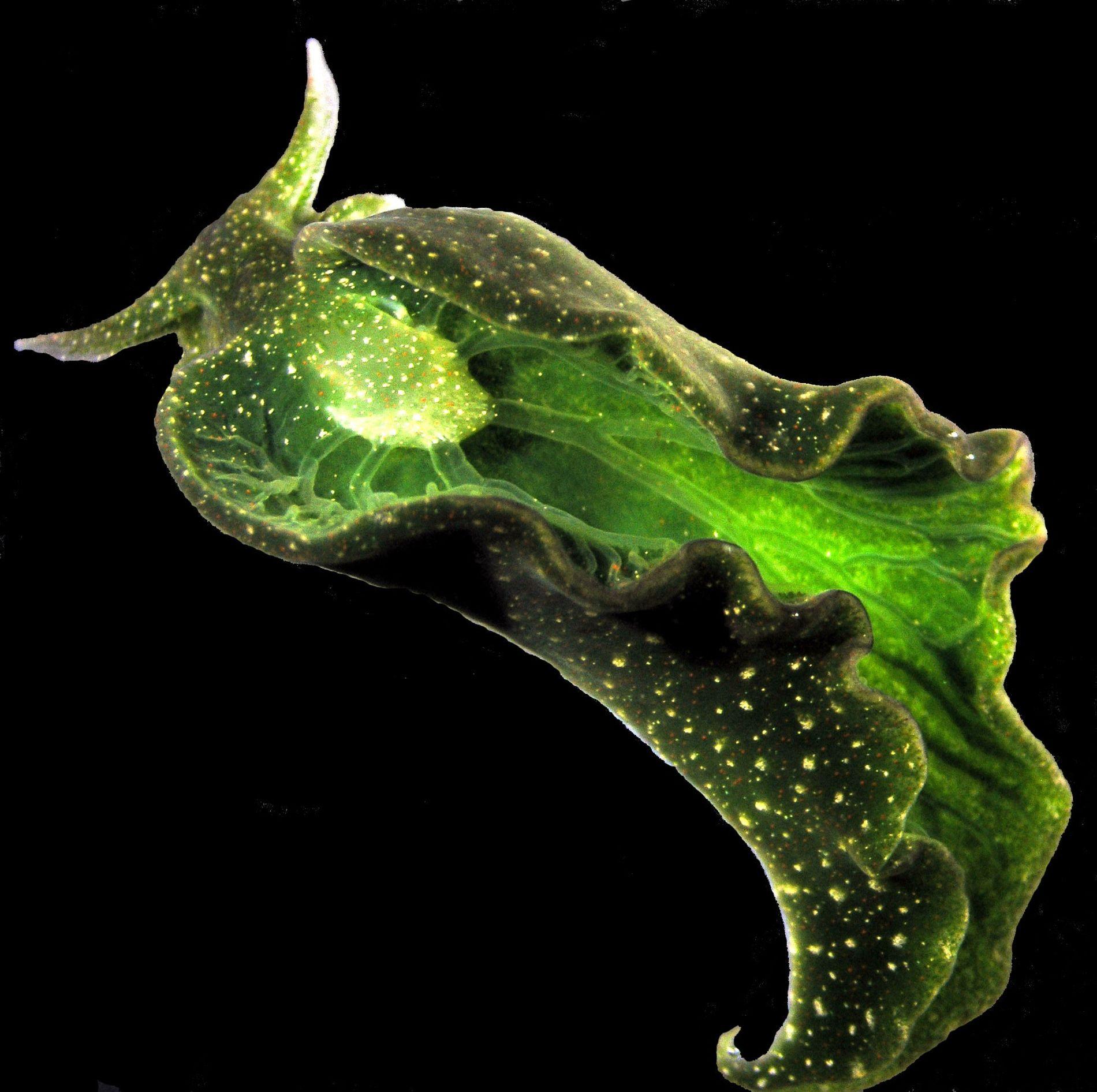 Elysia chlorotica ist eine Meeresschnecke, die vor allem an der Ostküste der USA zu finden ist. ...