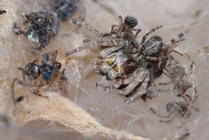 Junge Spinnen fressen weibliche Spinne