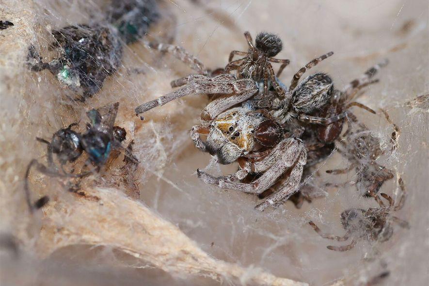 Junge Spinnen fressen eine weibliche Spinne. Dieser Vorgang wird als Matriphagie bezeichnet, das Fressen der Mutter.