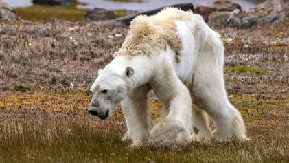 Video zeigt verhungernden Eisbären in eisfreier Landschaft