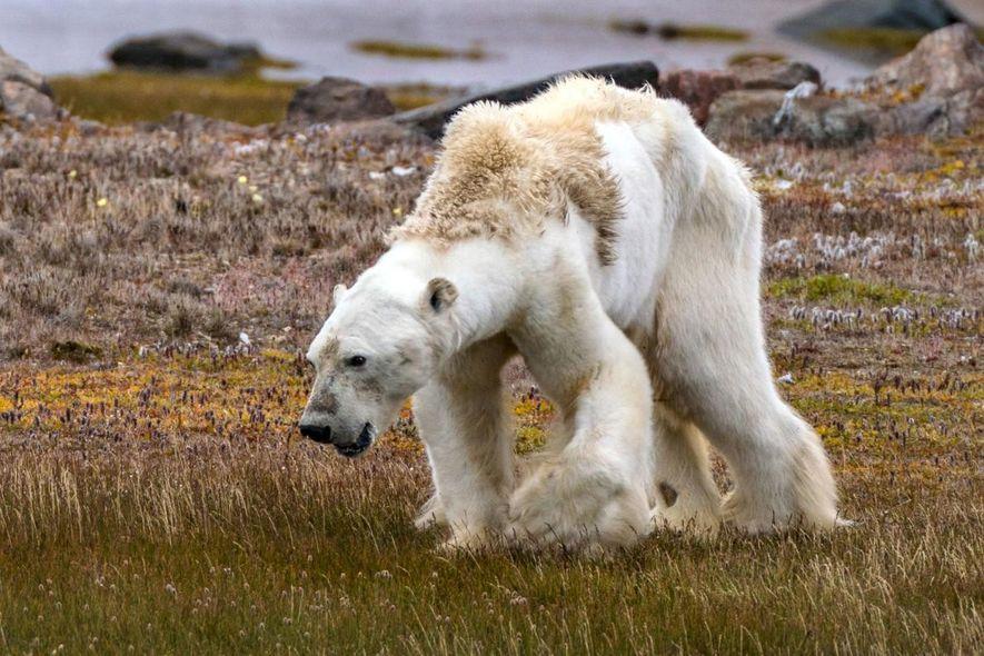 Antworten auf eure Fragen zum Video des verhungernden Eisbären