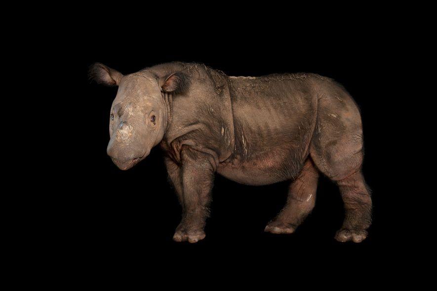 Malaysias letztes Sumatra-Nashorn ist tot