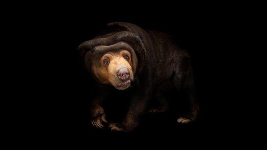 Malaienbären können die Gesichtsausdrücke ihrer Artgenossen exakt nachahmen – eine Fähigkeit, von der man dachte, sie ...