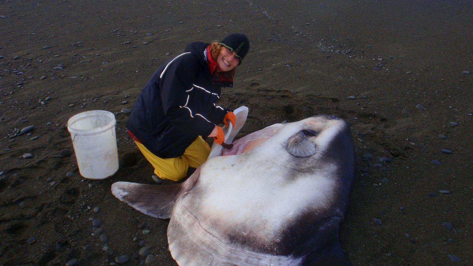 Marianne Nyegaard mit einem gestrandeten Mola tecta
