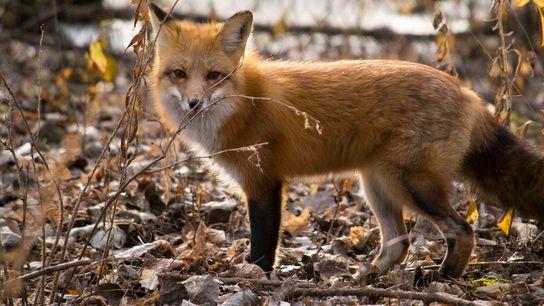 Füchse können ihre langen, buschigen Schwänze zum Balancieren benutzen, wenn sie ein Bein verlieren.