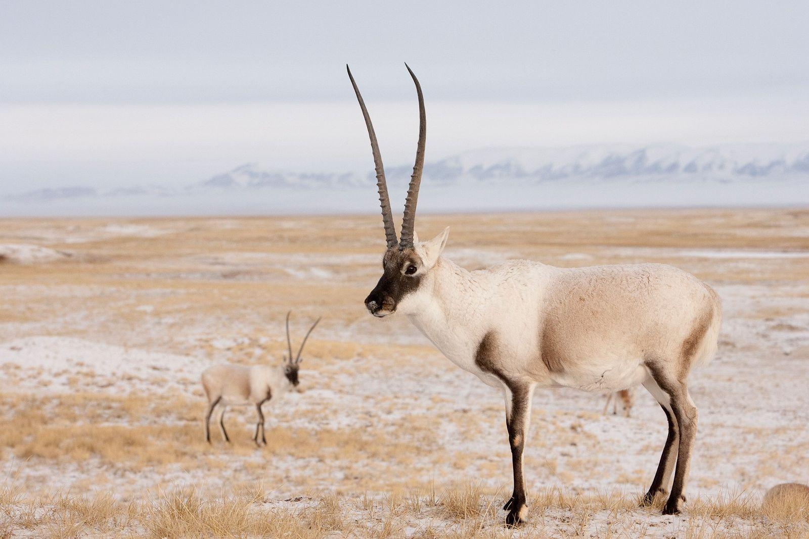 Tschirus, auch Tibetantilopen genannt, werden gewildert, um aus ihrer weichen Unterwolle luxuriöse Schals namens Shahtooshs herzustellen. ...