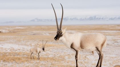 Blutiger Luxus: Seltene Antilopen sterben für $20.000-Schals
