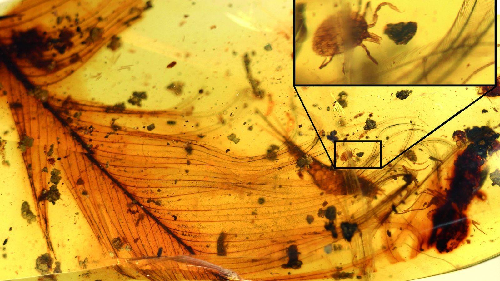 Ein 99 Millionen Jahre alter Klumpen Bernstein mit einer eingeschlossenen Zecke, die sich an eine Feder ...
