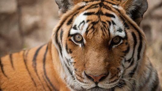 """Was man in """"Tiger King"""" nicht über die Großkatzen-Industrie erfährt"""