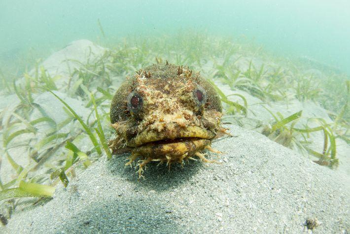 Ein Froschfisch der Art Amphichthys cryptocentrus scheint für ein Foto zu posieren.