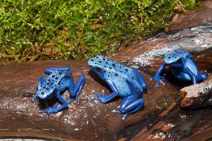 Blauer Baumsteiger (Dendrobates tinctorius azureus).