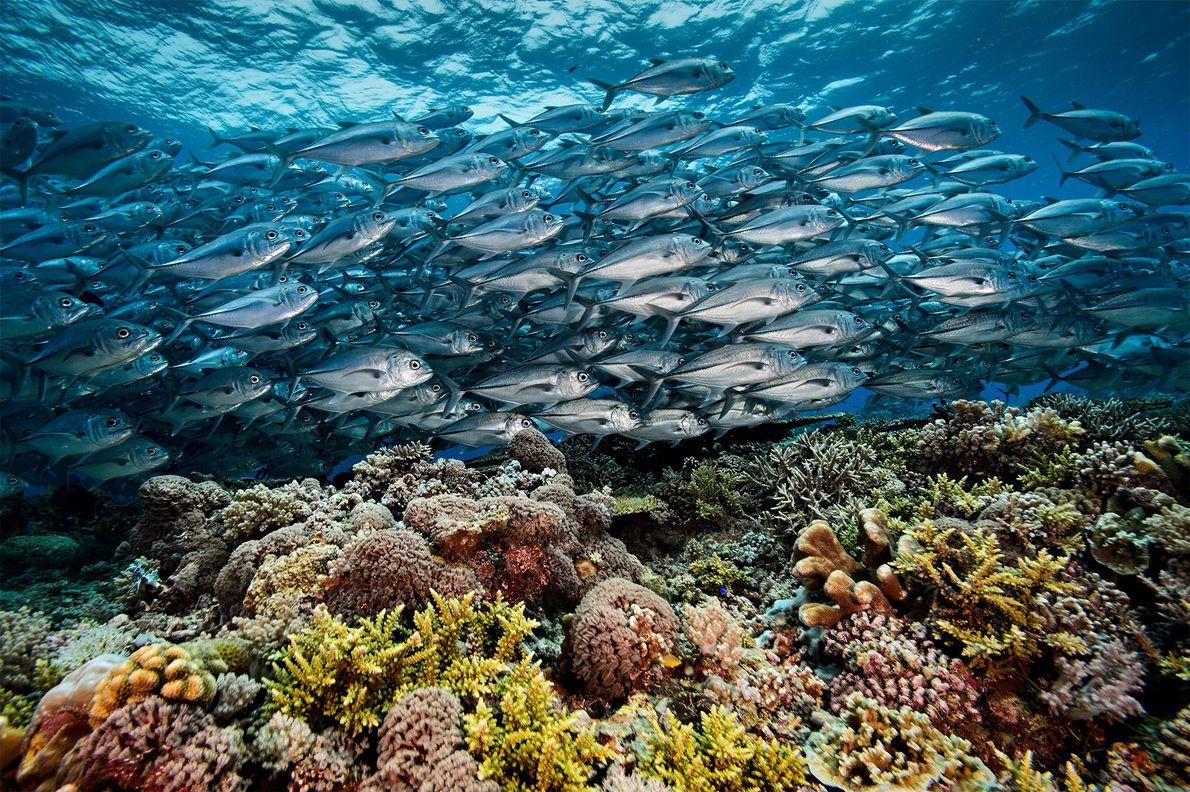 Ein Makrelenschwarm fließt wie ein silberner Fluss über ein Korallenriff am südlichen Atoll des Tubbataha-Riffs.