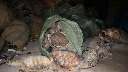 Ende 2014 entdeckten Beamte Tausende Echte Karettschildkröten in einem Lagerhaus in Nha Trang, Vietnam.