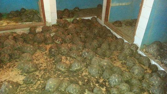10.000 gewilderte Schildkröten in madagassischem Haus entdeckt