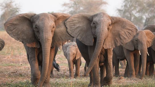 Elefanten ohne Stoßzähne
