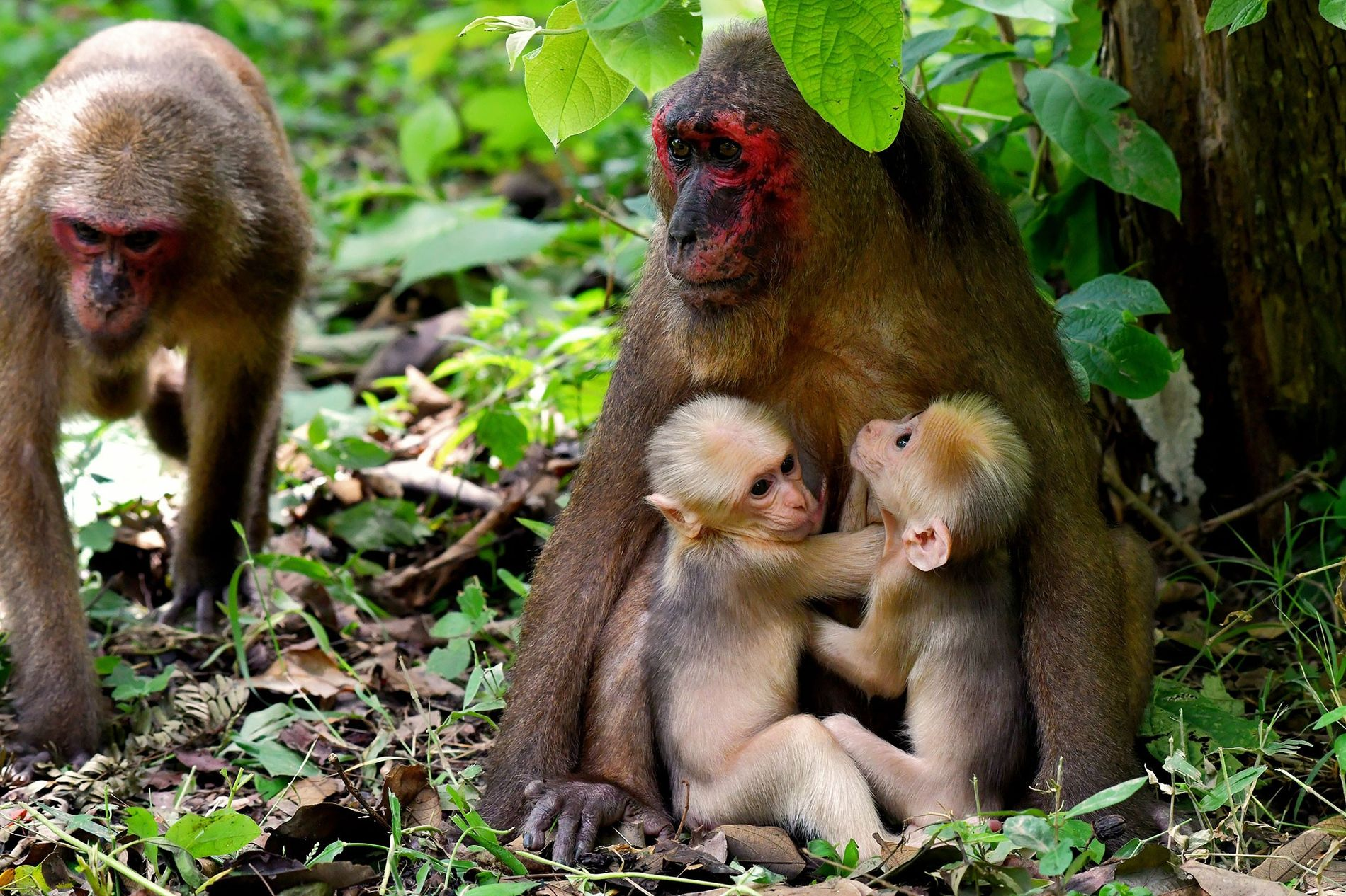 Affenmutter mit Zwillingsbabys