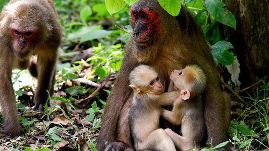 Seltene Primatenzwillinge haben verschiedene Väter