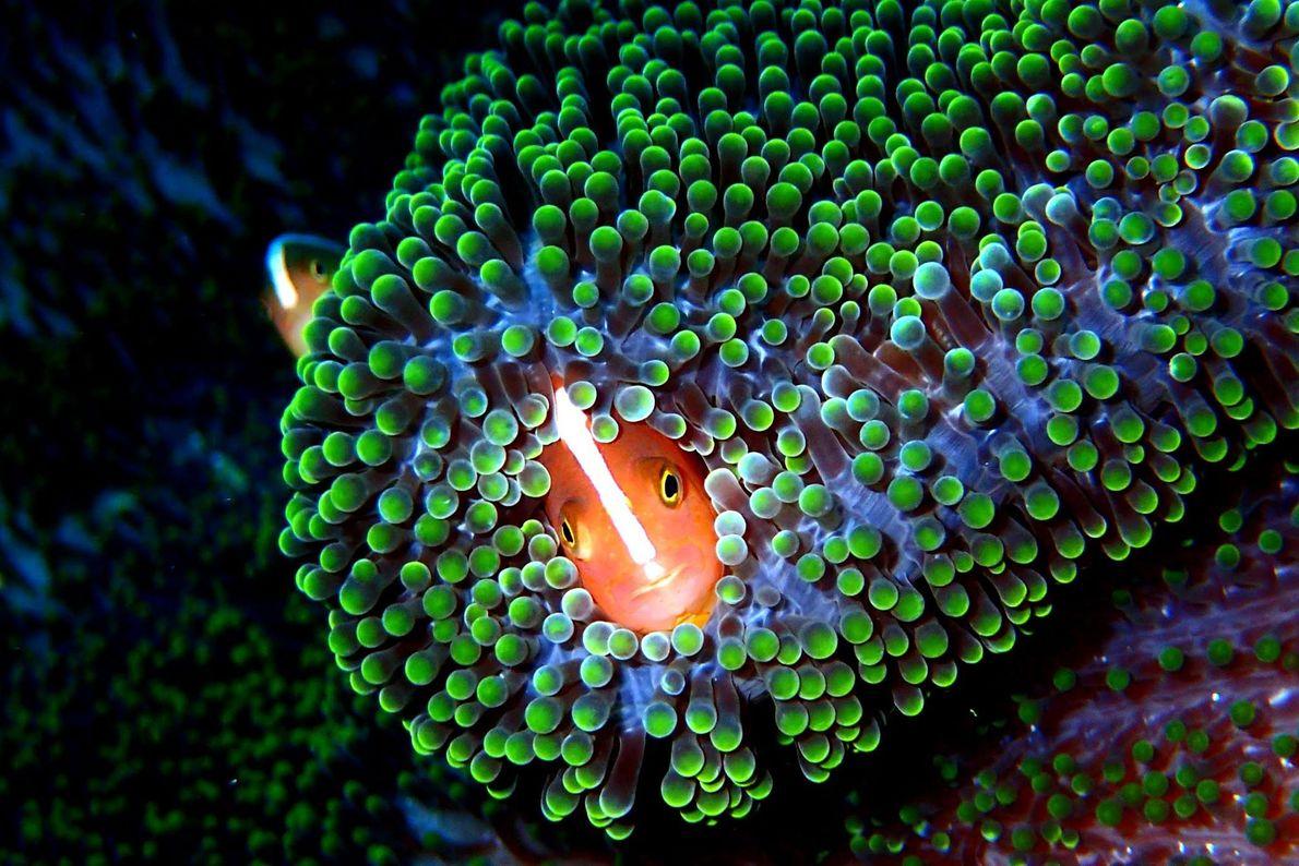 Echter Clownfisch. Pulau Sipadan, Malaysia.