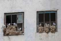 Dreizehenmöwen bauen ihre Nester in einer norwegischen Stadt. Aufgrund verschiedener Faktoren verlassen die Vögel ihre angestammten ...