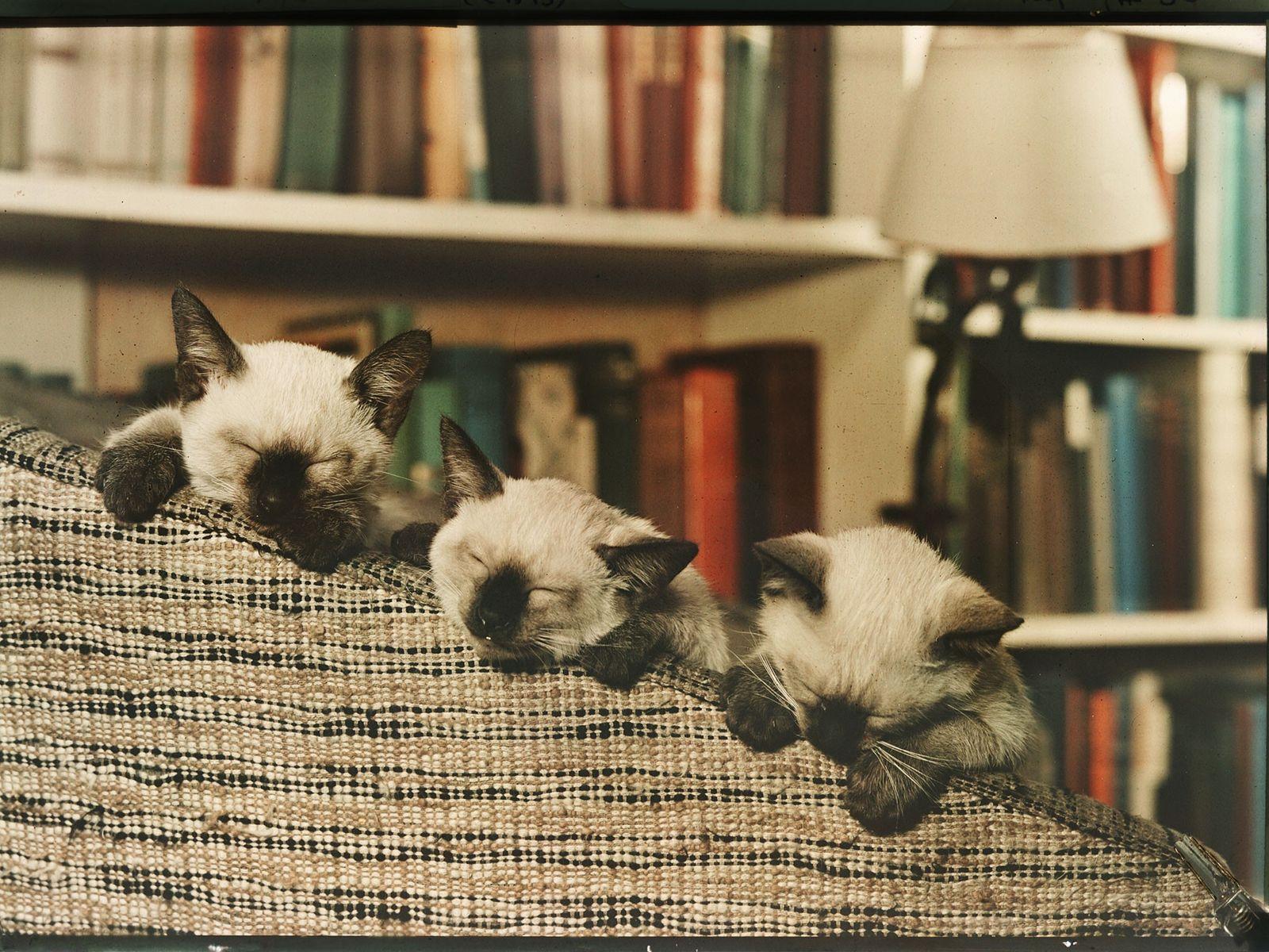 Ein Trio junger Siamkatzen