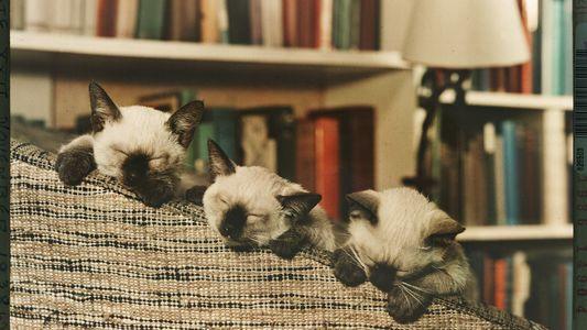 Galerie: Vintage-Fotos von verwöhnten Katzen