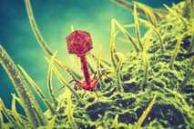 Bakteriophagen sind Viren, die Bakterien befallen und sich in ihnen replizieren.