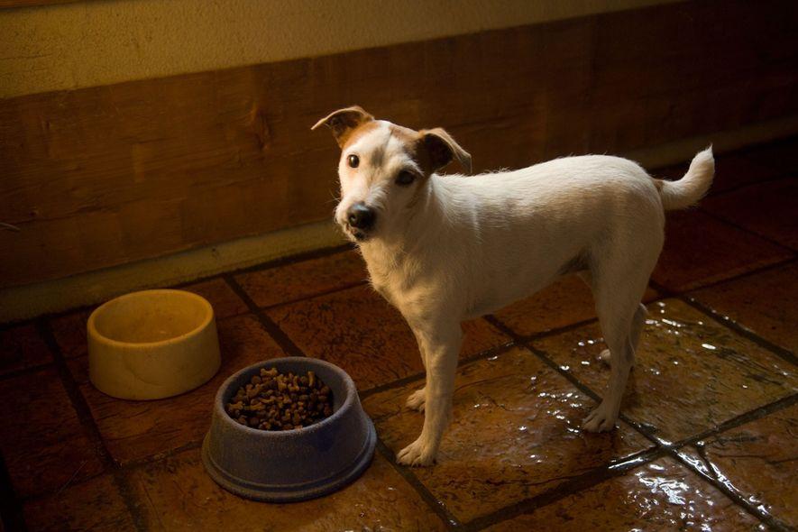 Warum urinieren Hunde in ihre Näpfe?