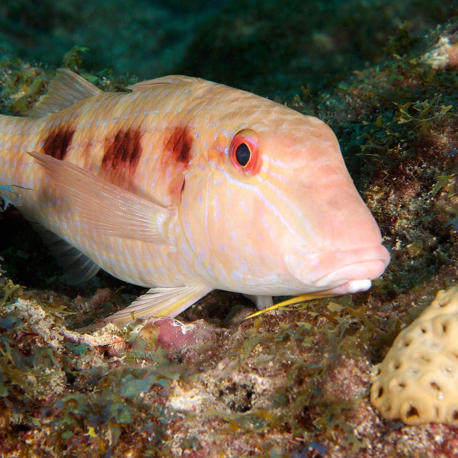 Gefleckte Meerbarben lassen sich oft von Putzergarnelen säubern.