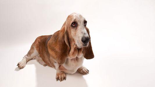 Hund zu dick? Besitzer schätzen Gewicht oft falsch ein