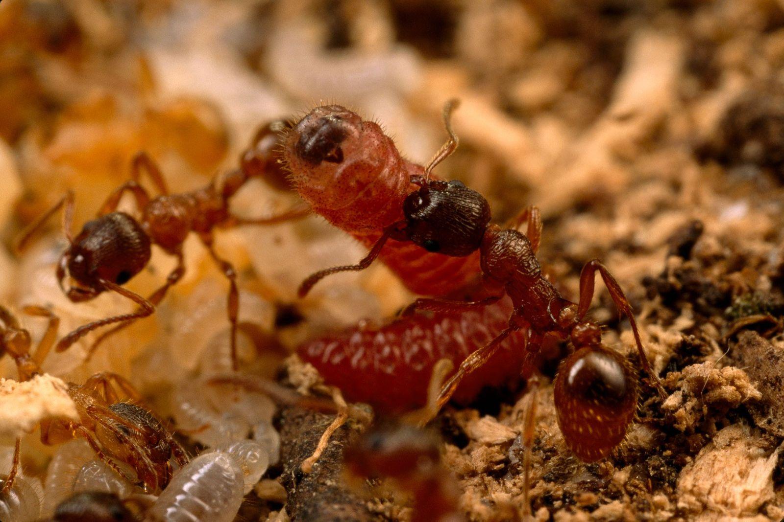 Ameisen der Gattung Myrmica kümmern sich um eine Raupe des Lungenenzian-Ameisenbläulings.