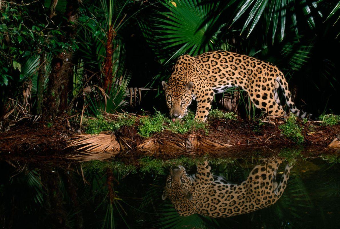 Ein Jaguar namens Pepe wandert im Zoo von Belize an einem Wasserloch entlang.