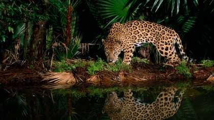 Galerie: Was ist der Unterschied zwischen Jaguar und Leopard?