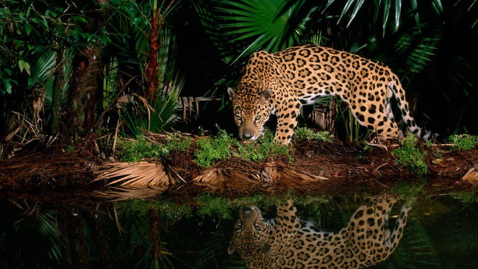 Was ist der Unterschied zwischen Jaguar und Leopard?