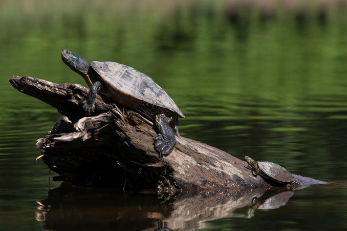 Eine weibliche und männliche Landkarten-Höckerschildkröte