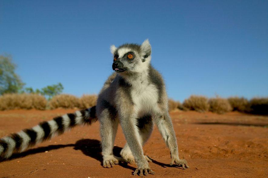 Lemuren können Schwäche riechen