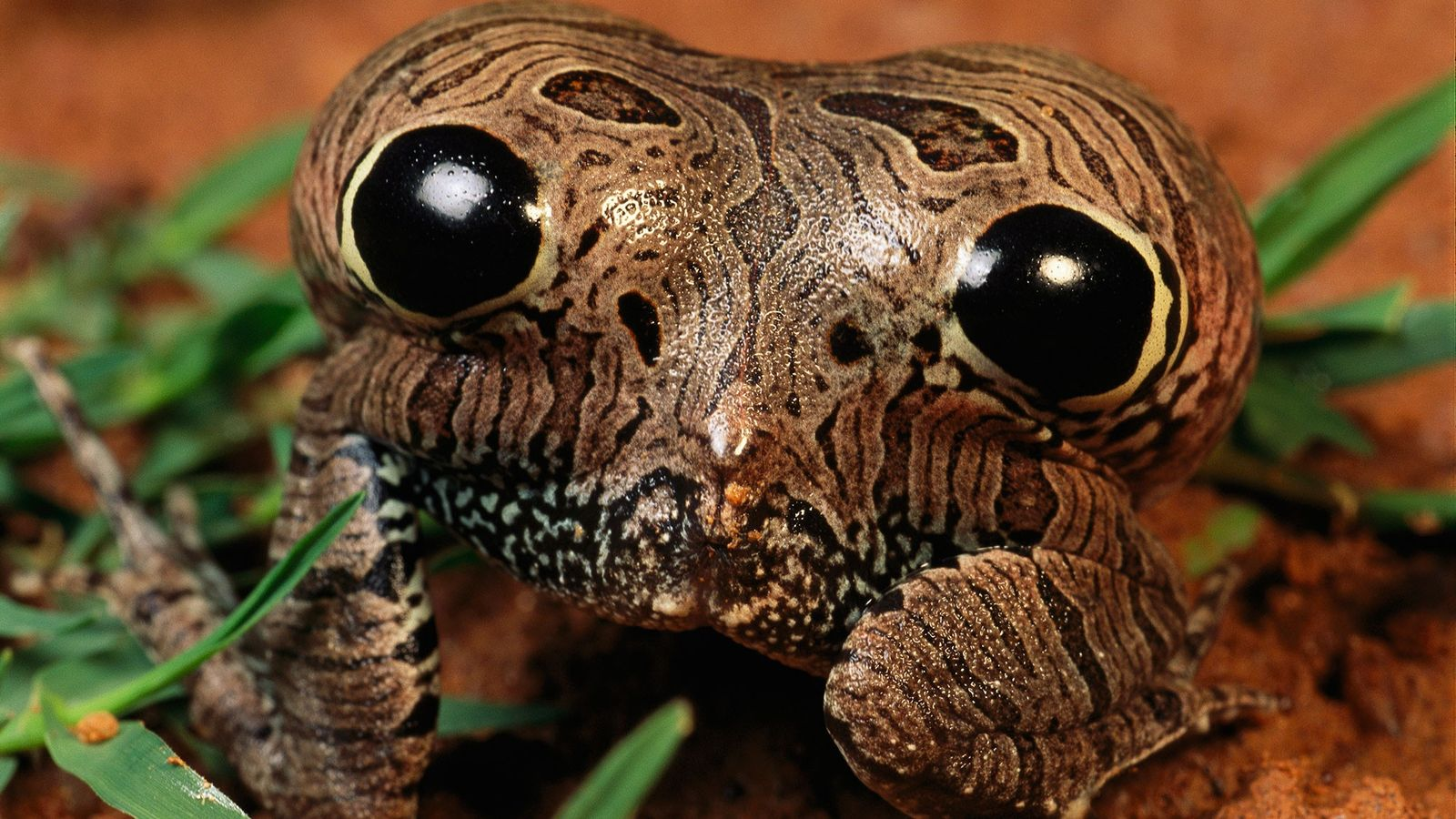 Ein Frosch der Art Physalaemus nattereri bläht sein Hinterteil auf, um Fressfeinde einzuschüchtern.
