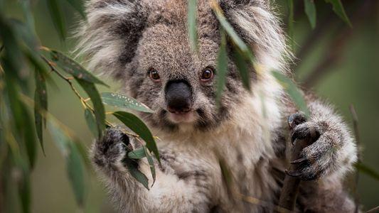 Neue Behandlungen für Koalas mit Chlamydien