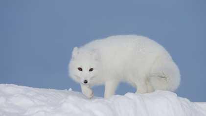 Was machen Tiere mit weißem Winterfell, wenn kein Schnee fällt?