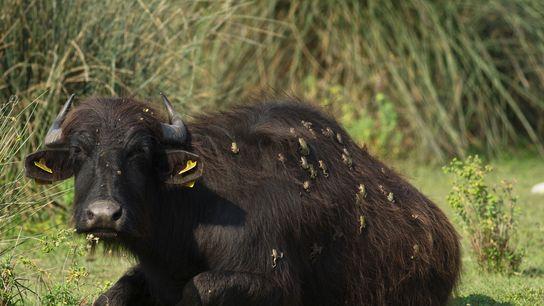 Frösche auf Wasserbüffel