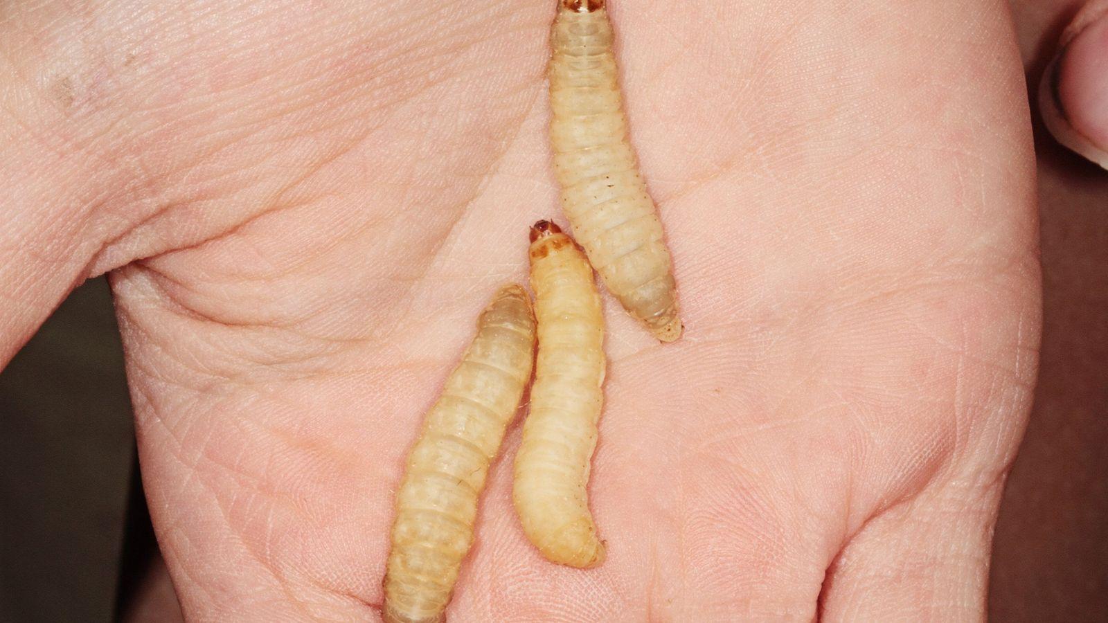 01-wax-worms-plastic