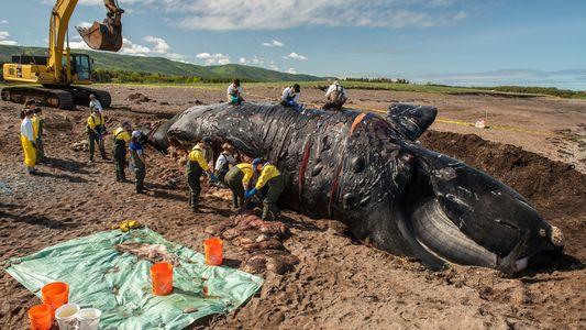 Tote Wale: Der Ausrottung sechs Schritte näher